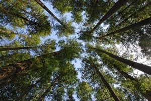 Oregontrees