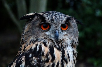 Close up of eagle owl, large orange eyes